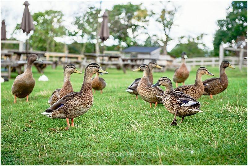 ducks at charnock farm